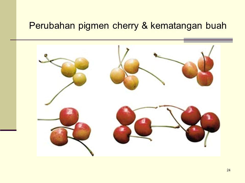 24 Perubahan pigmen cherry & kematangan buah