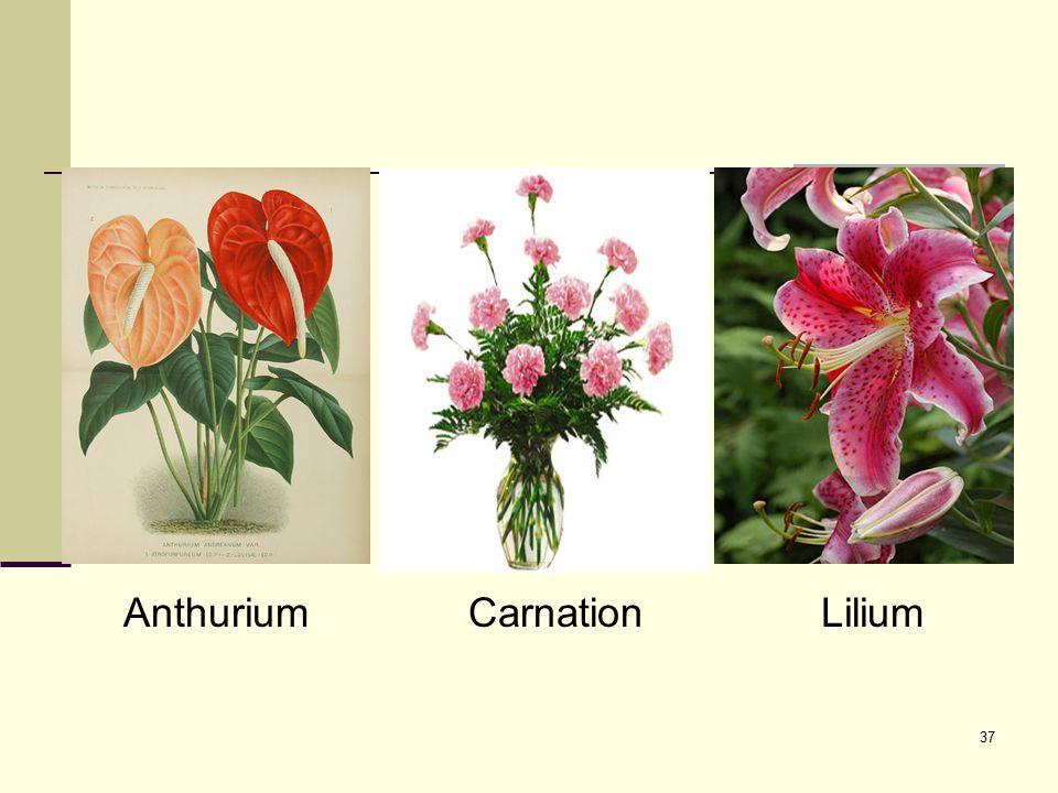 37 AnthuriumCarnationLilium