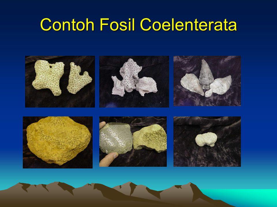 Contoh Fosil Coelenterata