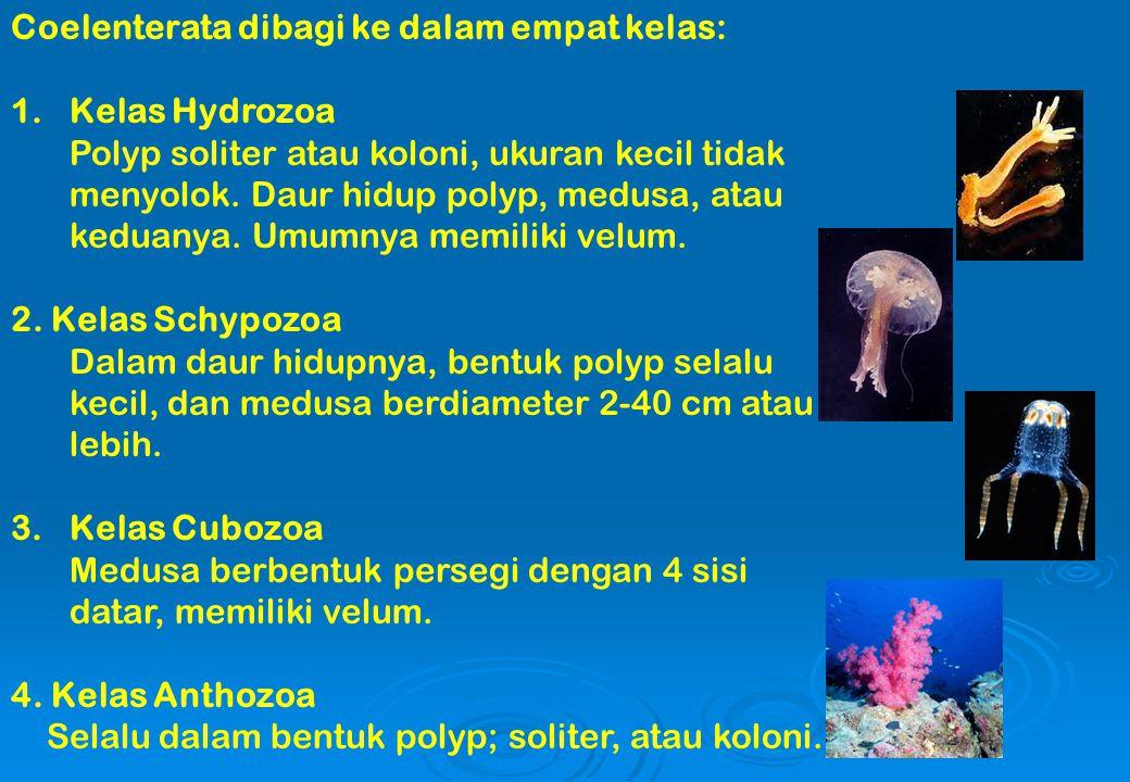 Coelenterata dibagi ke dalam empat kelas: 1.Kelas Hydrozoa Polyp soliter atau koloni, ukuran kecil tidak menyolok. Daur hidup polyp, medusa, atau kedu