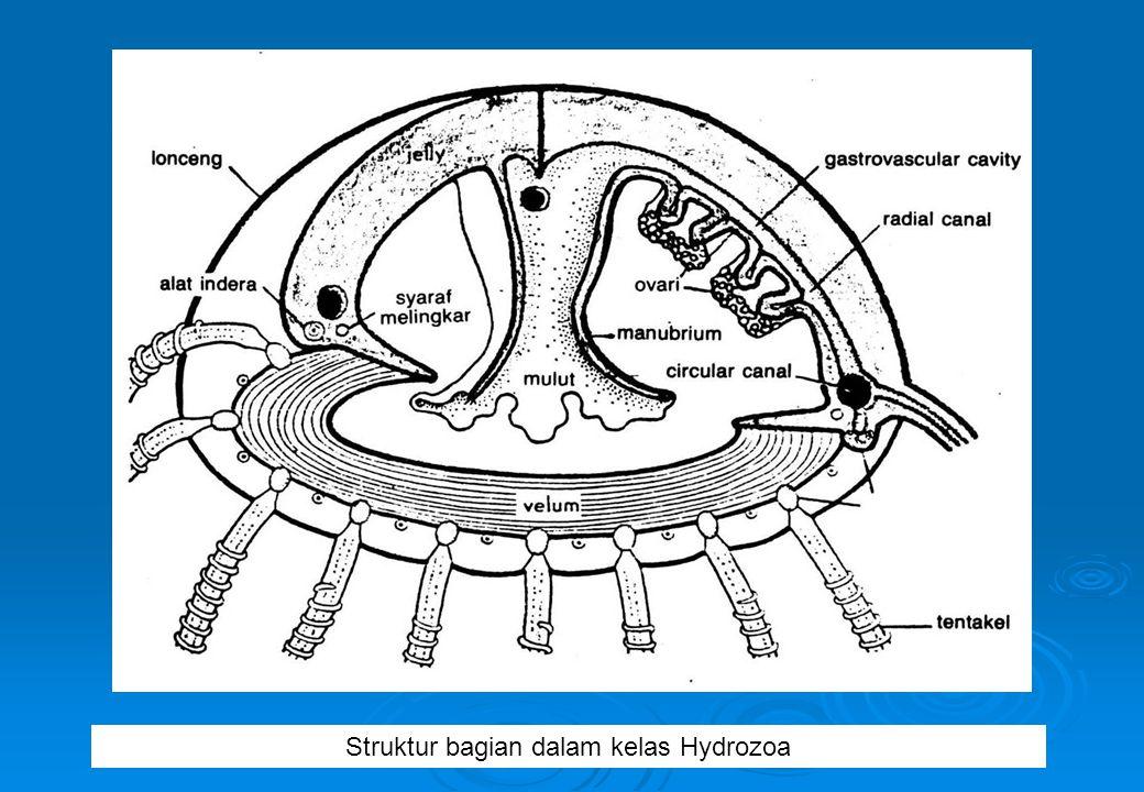 Struktur bagian dalam kelas Hydrozoa