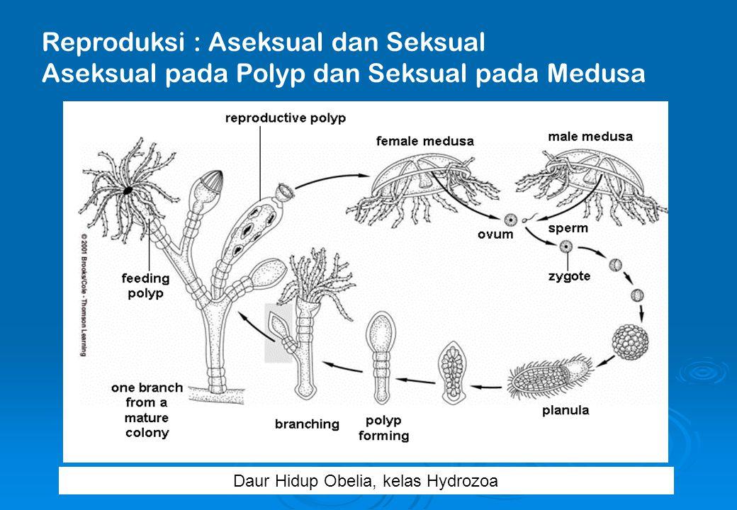Reproduksi : Aseksual dan Seksual Aseksual pada Polyp dan Seksual pada Medusa Daur Hidup Obelia, kelas Hydrozoa