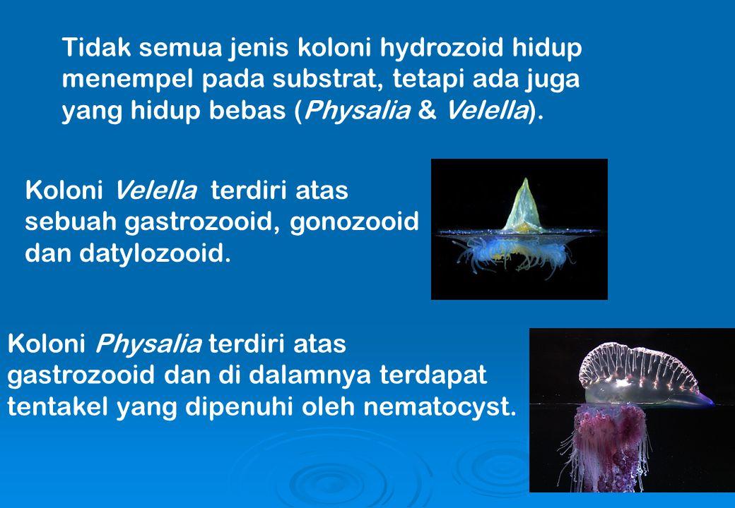Tidak semua jenis koloni hydrozoid hidup menempel pada substrat, tetapi ada juga yang hidup bebas (Physalia & Velella). Koloni Velella terdiri atas se