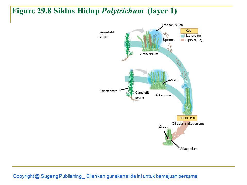 Copyright @ Sugeng Publishing _ Silahkan gunakan slide ini untuk kemajuan bersama Figure 29.8 Siklus Hidup Polytrichum (layer 1) Gametofit jantan Tetesan hujan Sperma Key Haploid (n) Diploid (2n) Antheridium Gametofit betina Ovum Arkegonium FERTILISASI (Di dalam arkegonium) Zygot Arkegonium Gametophore