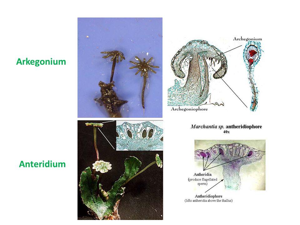 Seksual – jantan (anteridium)  spermatozoid – betina (arkegonium)  ovum Reproduksi Anteridium (seperti cawan) Arkegonium (seperti payung)