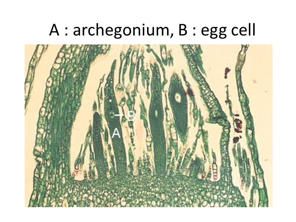A is one antheridium