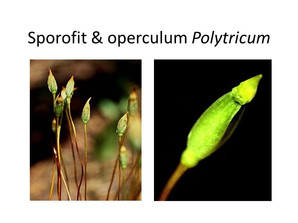 Mature sporophytes Sporofit muda Gametofit jantan Tetesan hujan Sperma Key Haploid (n) Diploid (2n) Antheridium Gametofit betina Ovum Arkegonium FERTI