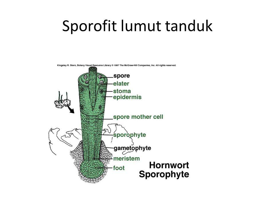 LUMUT TANDUK
