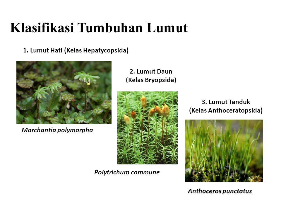 Marchantia polymorpha 1.Lumut Hati (Kelas Hepatycopsida) 3.