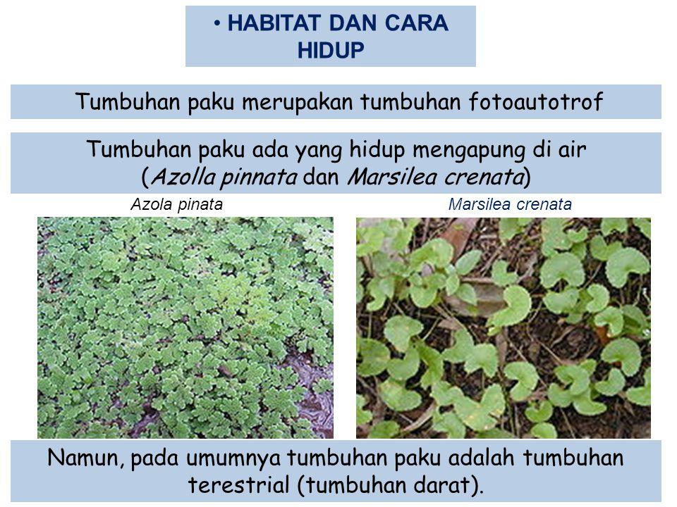 HABITAT DAN CARA HIDUP Tumbuhan paku merupakan tumbuhan fotoautotrof Tumbuhan paku ada yang hidup mengapung di air (Azolla pinnata dan Marsilea crenat