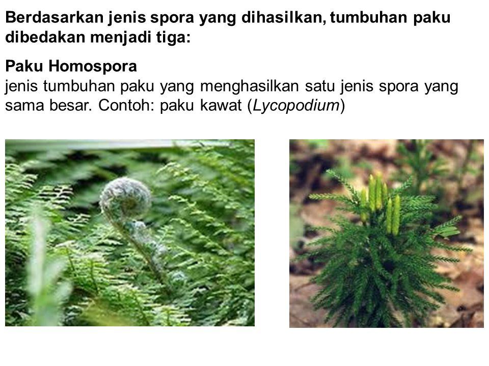 Berdasarkan jenis spora yang dihasilkan, tumbuhan paku dibedakan menjadi tiga: Paku Homospora jenis tumbuhan paku yang menghasilkan satu jenis spora y