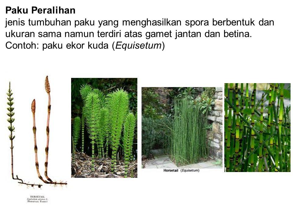 Paku Peralihan jenis tumbuhan paku yang menghasilkan spora berbentuk dan ukuran sama namun terdiri atas gamet jantan dan betina. Contoh: paku ekor kud