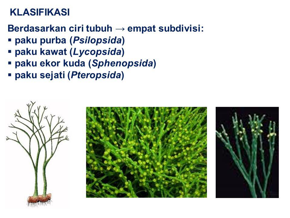 Berdasarkan ciri tubuh → empat subdivisi:  paku purba (Psilopsida)  paku kawat (Lycopsida)  paku ekor kuda (Sphenopsida)  paku sejati (Pteropsida)