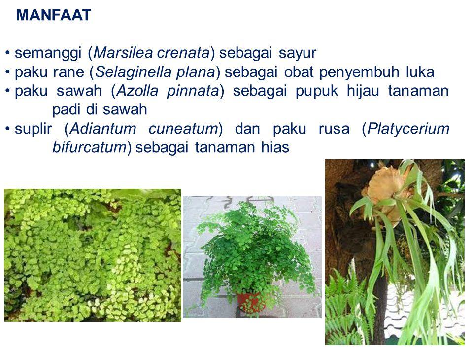 MANFAAT semanggi (Marsilea crenata) sebagai sayur paku rane (Selaginella plana) sebagai obat penyembuh luka paku sawah (Azolla pinnata) sebagai pupuk