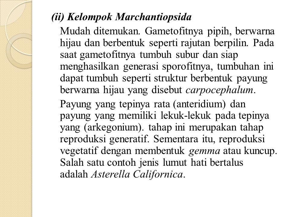 (ii) Kelompok Marchantiopsida Mudah ditemukan. Gametofitnya pipih, berwarna hijau dan berbentuk seperti rajutan berpilin. Pada saat gametofitnya tumbu