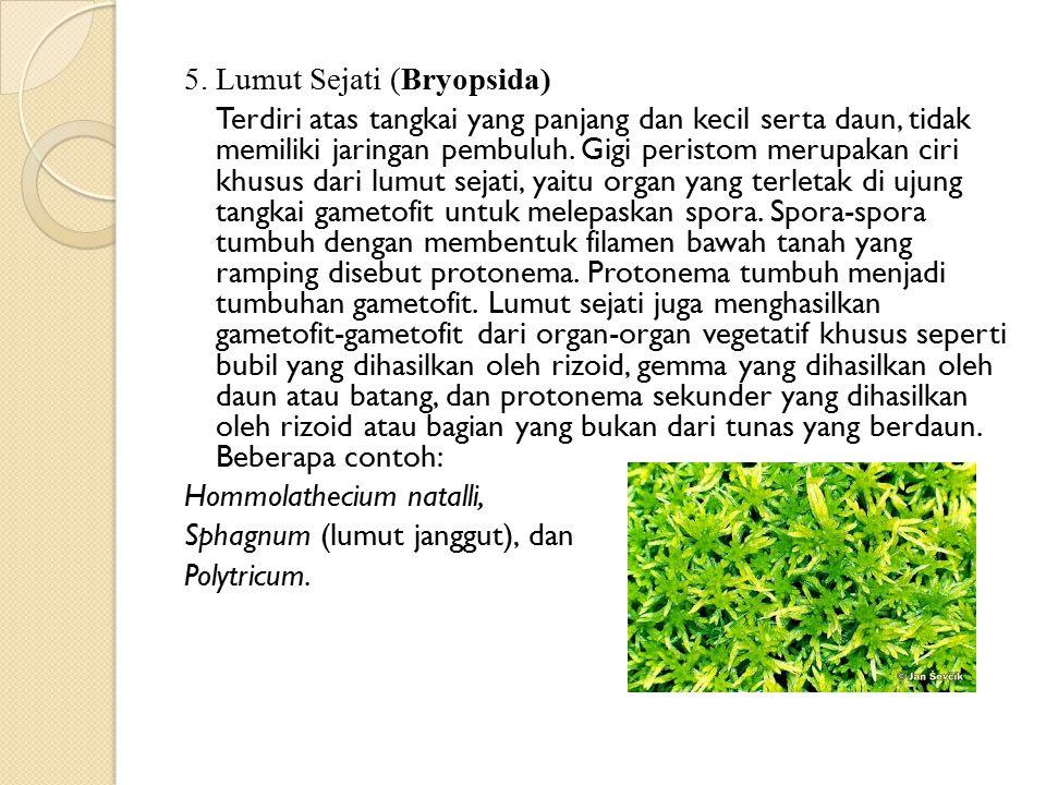5. Lumut Sejati (Bryopsida) Terdiri atas tangkai yang panjang dan kecil serta daun, tidak memiliki jaringan pembuluh. Gigi peristom merupakan ciri khu