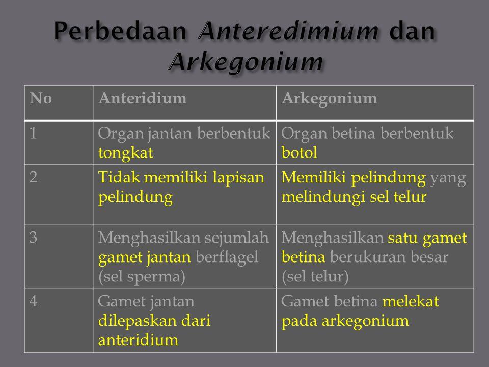 NoAnteridiumArkegonium 1Organ jantan berbentuk tongkat Organ betina berbentuk botol 2Tidak memiliki lapisan pelindung Memiliki pelindung yang melindun