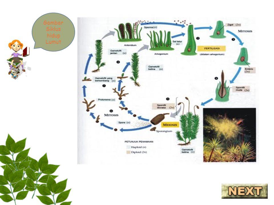 Gambar Siklus hidup Lumut