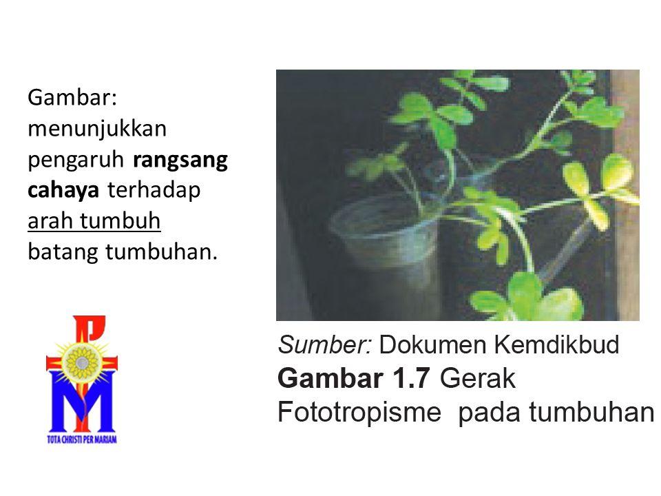 Gambar: menunjukkan pengaruh rangsang cahaya terhadap arah tumbuh batang tumbuhan.
