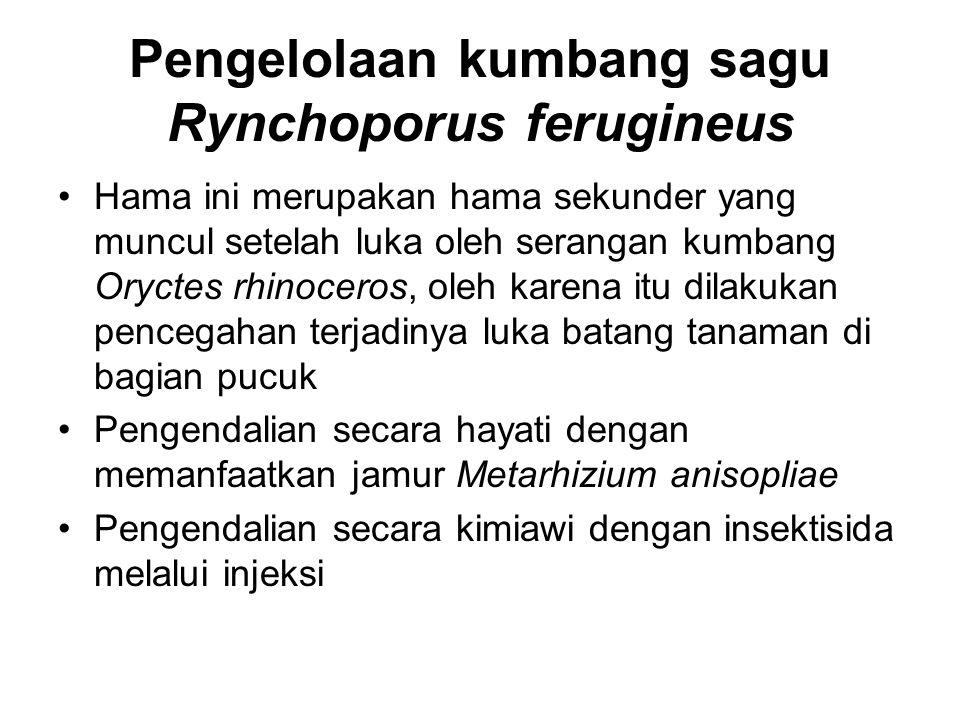 Pengelolaan kumbang sagu Rynchoporus ferugineus Hama ini merupakan hama sekunder yang muncul setelah luka oleh serangan kumbang Oryctes rhinoceros, ol