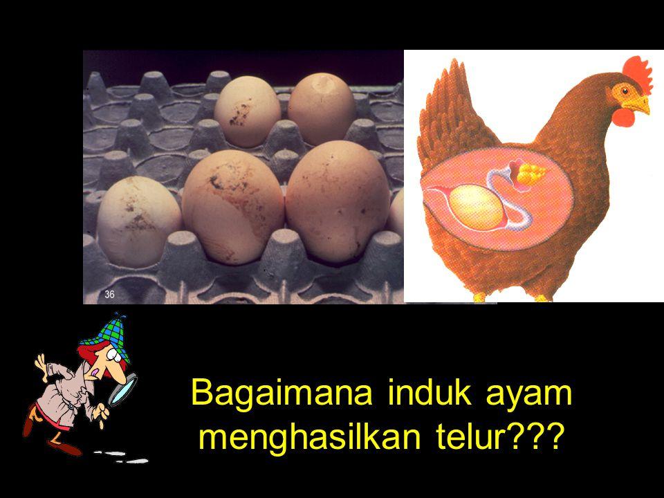 Bagaimana induk ayam menghasilkan telur???