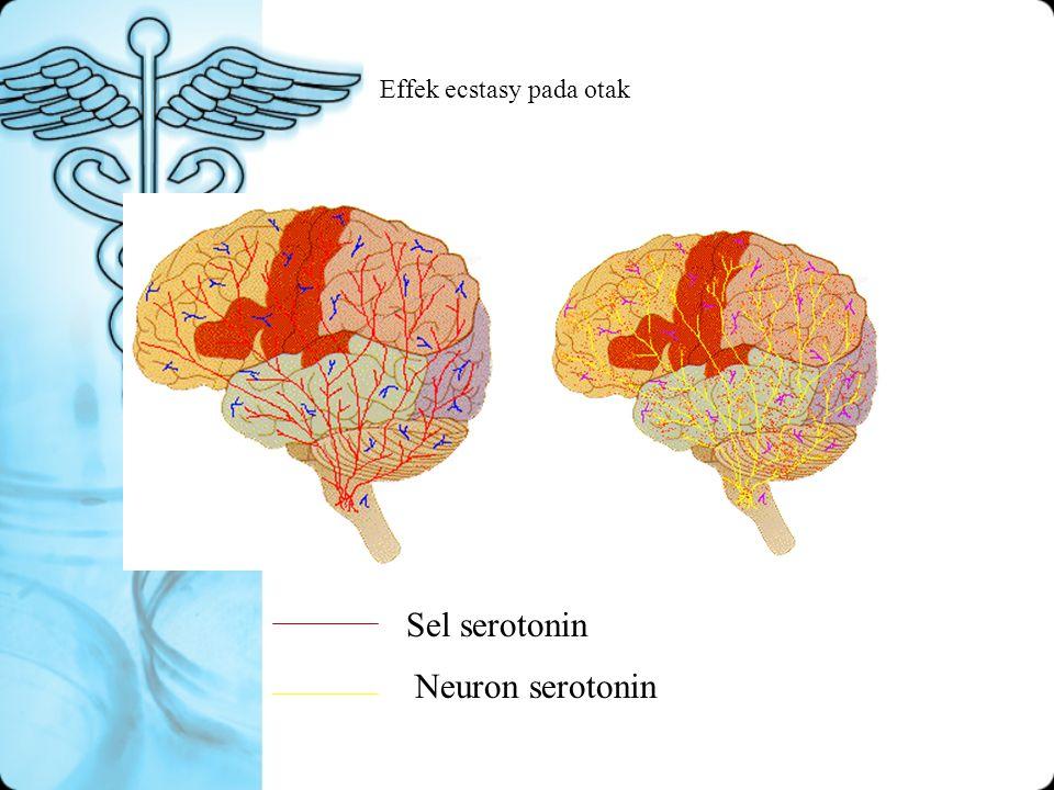 Effek ecstasy pada otak Sel serotonin Neuron serotonin