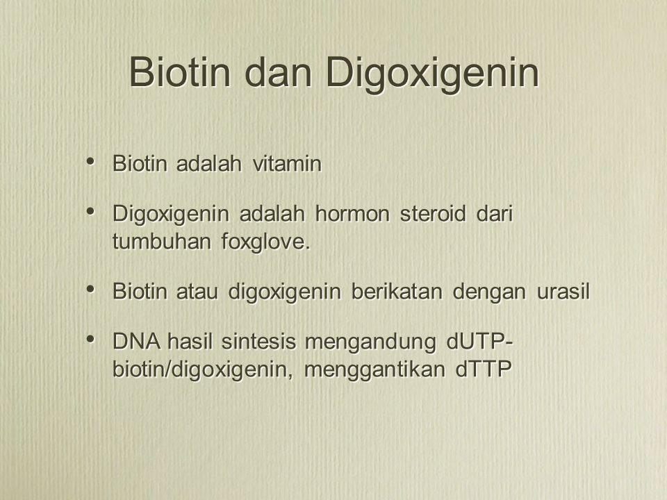 Biotin dan Digoxigenin Biotin adalah vitamin Digoxigenin adalah hormon steroid dari tumbuhan foxglove. Biotin atau digoxigenin berikatan dengan urasil