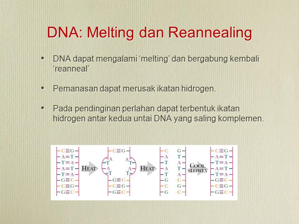 DNA: Melting dan Reannealing DNA dapat mengalami 'melting' dan bergabung kembali 'reanneal' Pemanasan dapat merusak ikatan hidrogen. Pada pendinginan