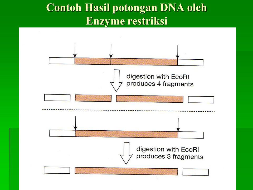 Contoh Hasil potongan DNA oleh Enzyme restriksi