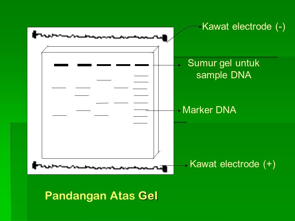 Kawat electrode (+) Marker DNA Sumur gel untuk sample DNA Kawat electrode (-) Gel Pandangan Atas Gel
