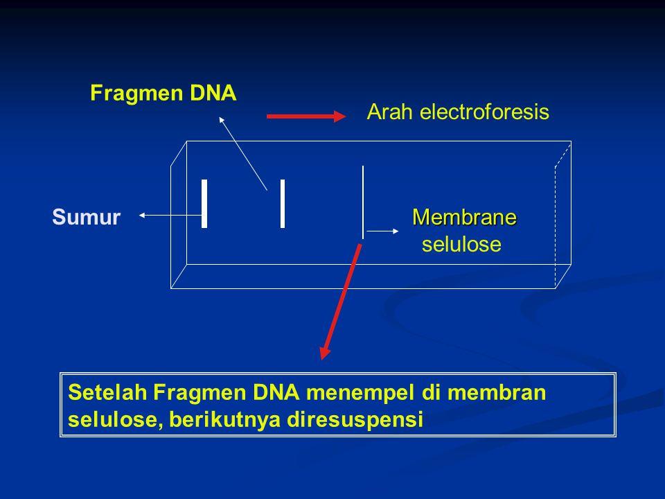 Sumur Fragmen DNA Arah electroforesis Membrane Membrane selulose Setelah Fragmen DNA menempel di membran selulose, berikutnya diresuspensi