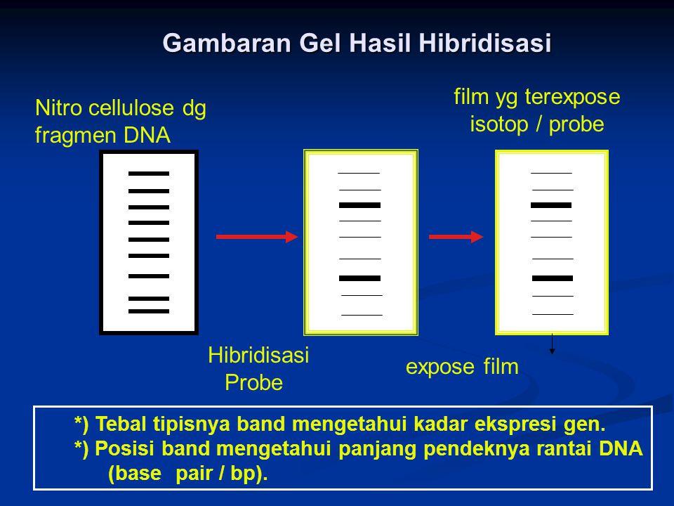 Gambaran Gel Hasil Hibridisasi Hibridisasi Probe Nitro cellulose dg fragmen DNA expose film film yg terexpose isotop / probe *) Tebal tipisnya band mengetahui kadar ekspresi gen.