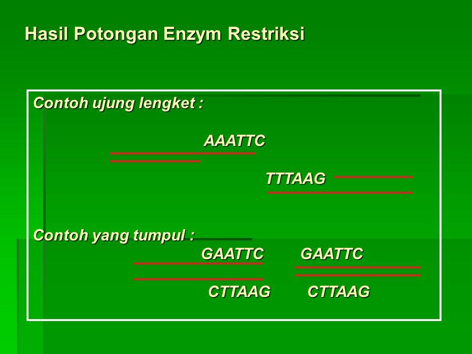 Hasil Potongan Enzym Restriksi Contoh ujung lengket : AAATTC TTTAAG TTTAAG Contoh yang tumpul : GAATTC GAATTC GAATTC GAATTC CTTAAG CTTAAG CTTAAG CTTAAG