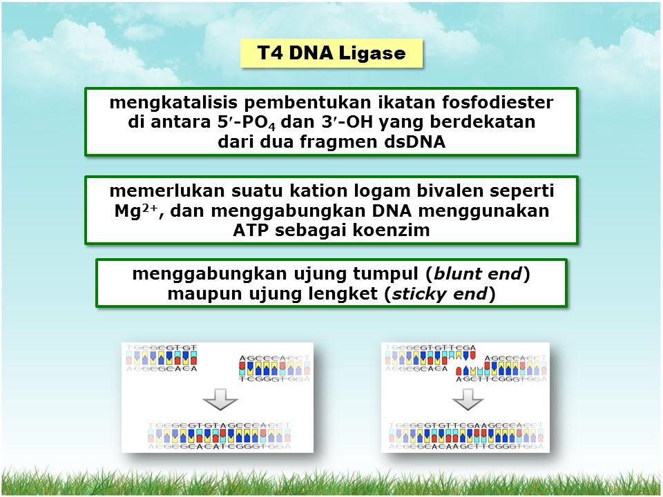 T4 DNA Ligase mengkatalisis pembentukan ikatan fosfodiester di antara 5-PO 4 dan 3-OH yang berdekatan dari dua fragmen dsDNA mengkatalisis pembentukan ikatan fosfodiester di antara 5-PO 4 dan 3-OH yang berdekatan dari dua fragmen dsDNA menggabungkan ujung tumpul (blunt end) maupun ujung lengket (sticky end) memerlukan suatu kation logam bivalen seperti Mg 2+, dan menggabungkan DNA menggunakan ATP sebagai koenzim