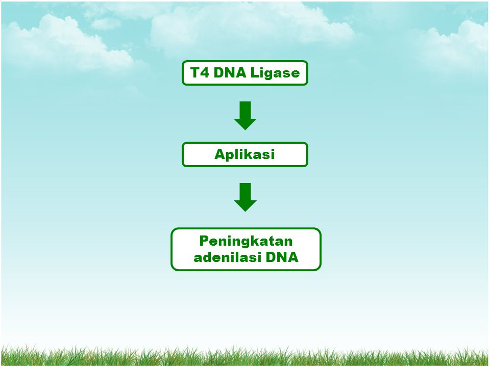 T4 DNA Ligase Aplikasi Peningkatan adenilasi DNA