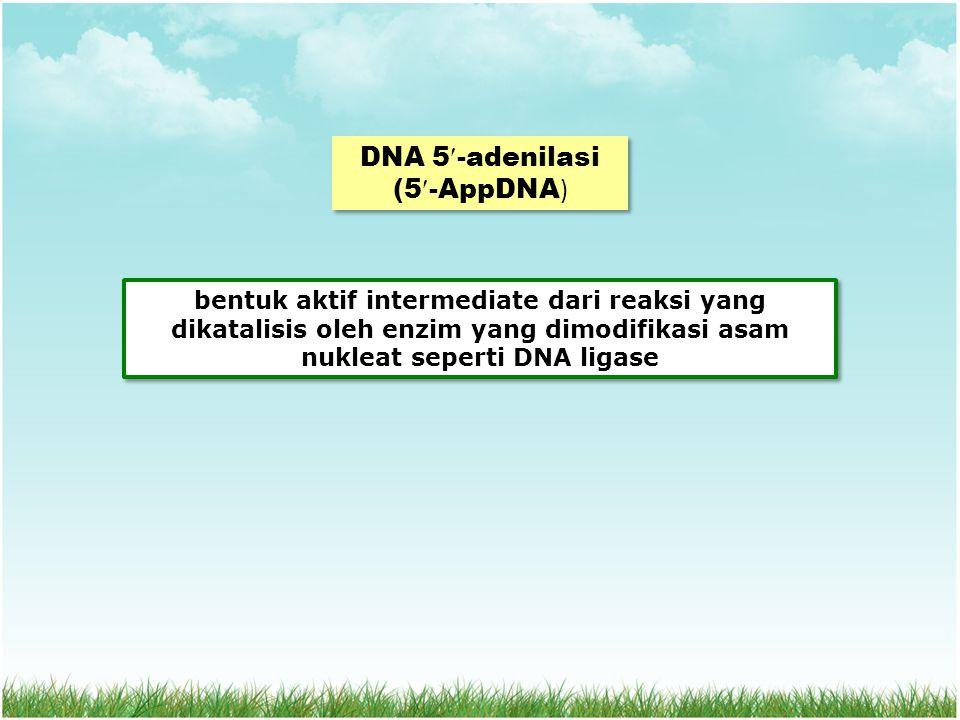 DNA 5-adenilasi (5-AppDNA ) bentuk aktif intermediate dari reaksi yang dikatalisis oleh enzim yang dimodifikasi asam nukleat seperti DNA ligase