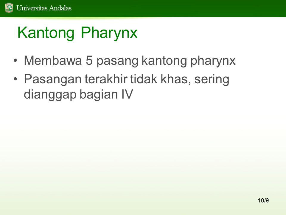 10/9 Kantong Pharynx Membawa 5 pasang kantong pharynx Pasangan terakhir tidak khas, sering dianggap bagian IV