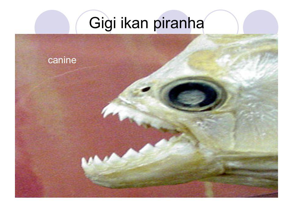 Gigi ikan piranha canine