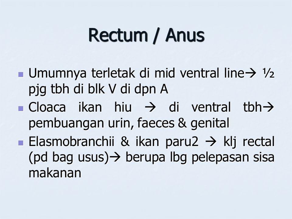 Rectum / Anus Umumnya terletak di mid ventral line  ½ pjg tbh di blk V di dpn A Umumnya terletak di mid ventral line  ½ pjg tbh di blk V di dpn A Cl