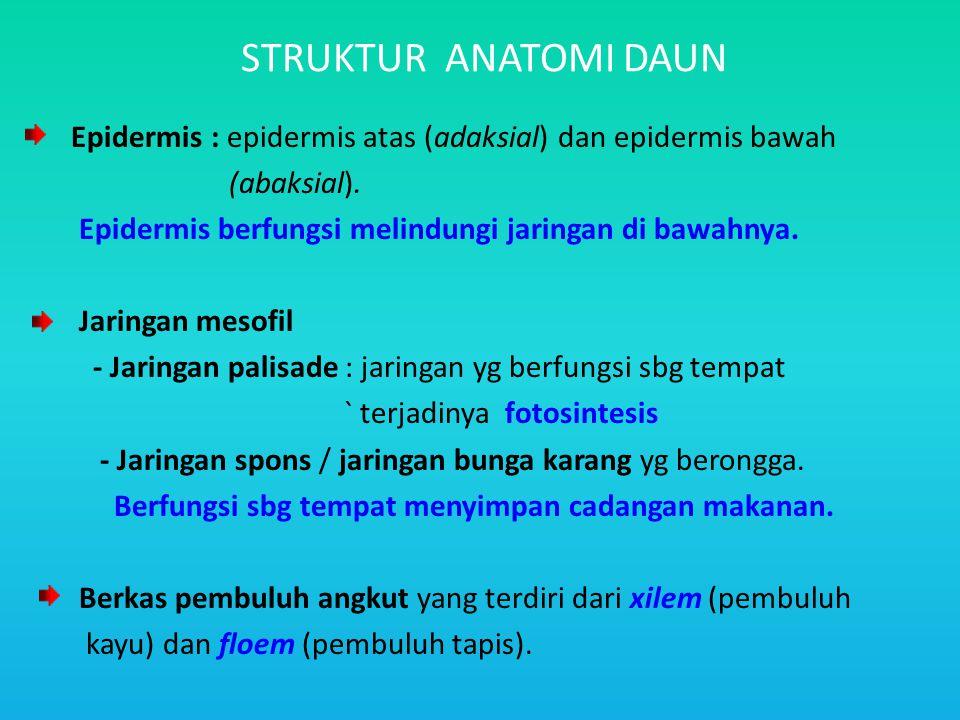 STRUKTUR ANATOMI DAUN Epidermis : epidermis atas (adaksial) dan epidermis bawah (abaksial). Epidermis berfungsi melindungi jaringan di bawahnya. Jarin