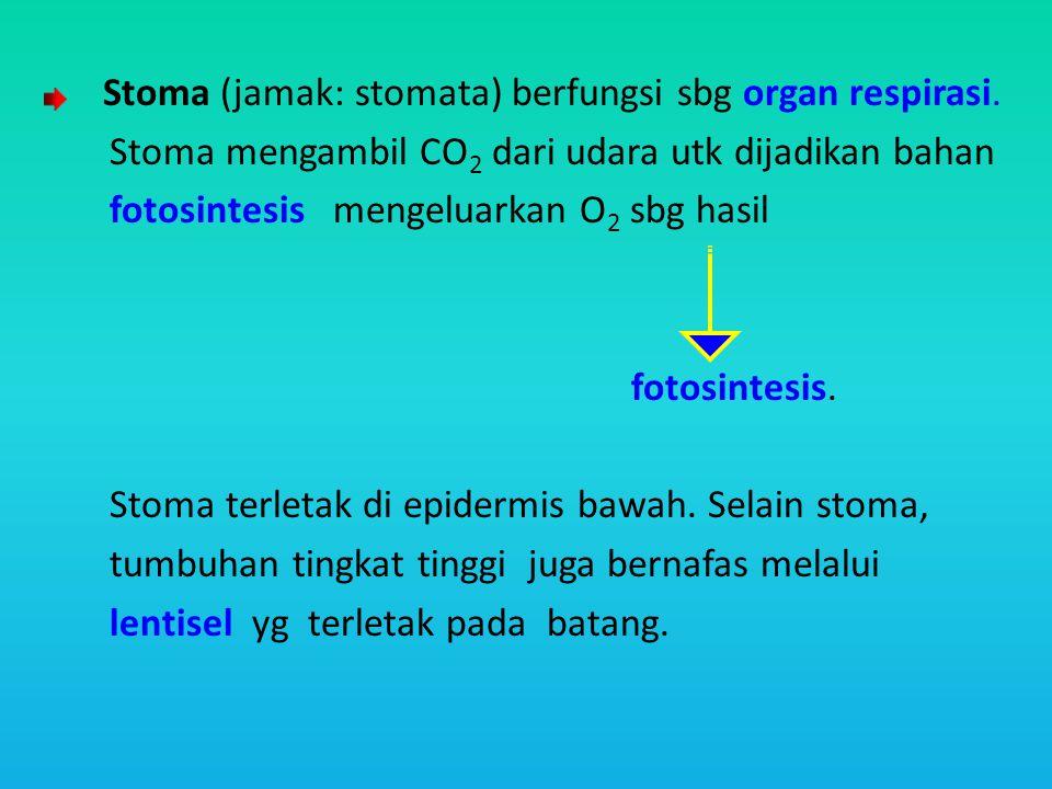 Stoma (jamak: stomata) berfungsi sbg organ respirasi. Stoma mengambil CO 2 dari udara utk dijadikan bahan fotosintesis mengeluarkan O 2 sbg hasil foto