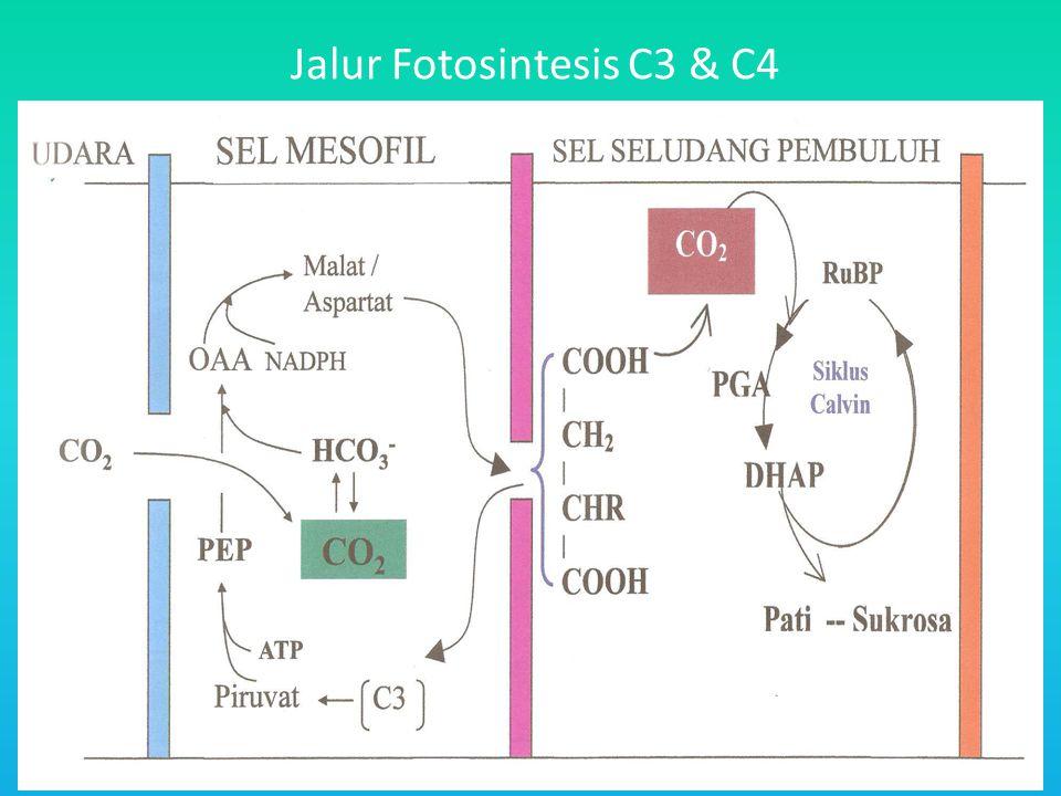 Jalur Fotosintesis C3 & C4