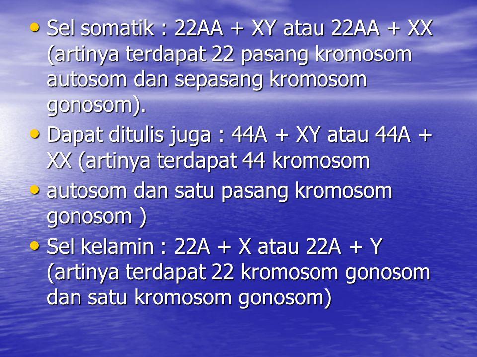 Sel somatik : 22AA + XY atau 22AA + XX (artinya terdapat 22 pasang kromosom autosom dan sepasang kromosom gonosom). Sel somatik : 22AA + XY atau 22AA