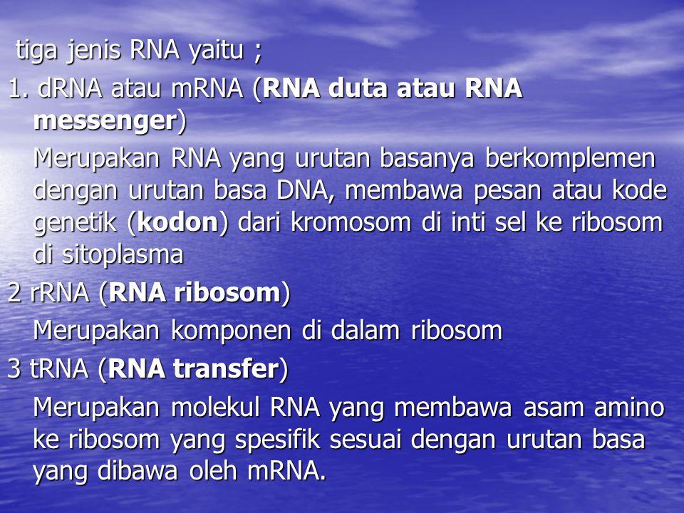 tiga jenis RNA yaitu ; tiga jenis RNA yaitu ; 1. dRNA atau mRNA (RNA duta atau RNA messenger) Merupakan RNA yang urutan basanya berkomplemen dengan ur