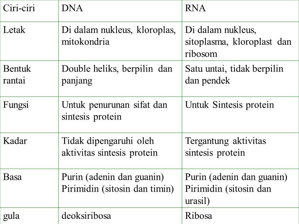 Ciri-ciriDNARNA LetakDi dalam nukleus, kloroplas, mitokondria Di dalam nukleus, sitoplasma, kloroplast dan ribosom Bentuk rantai Double heliks, berpil