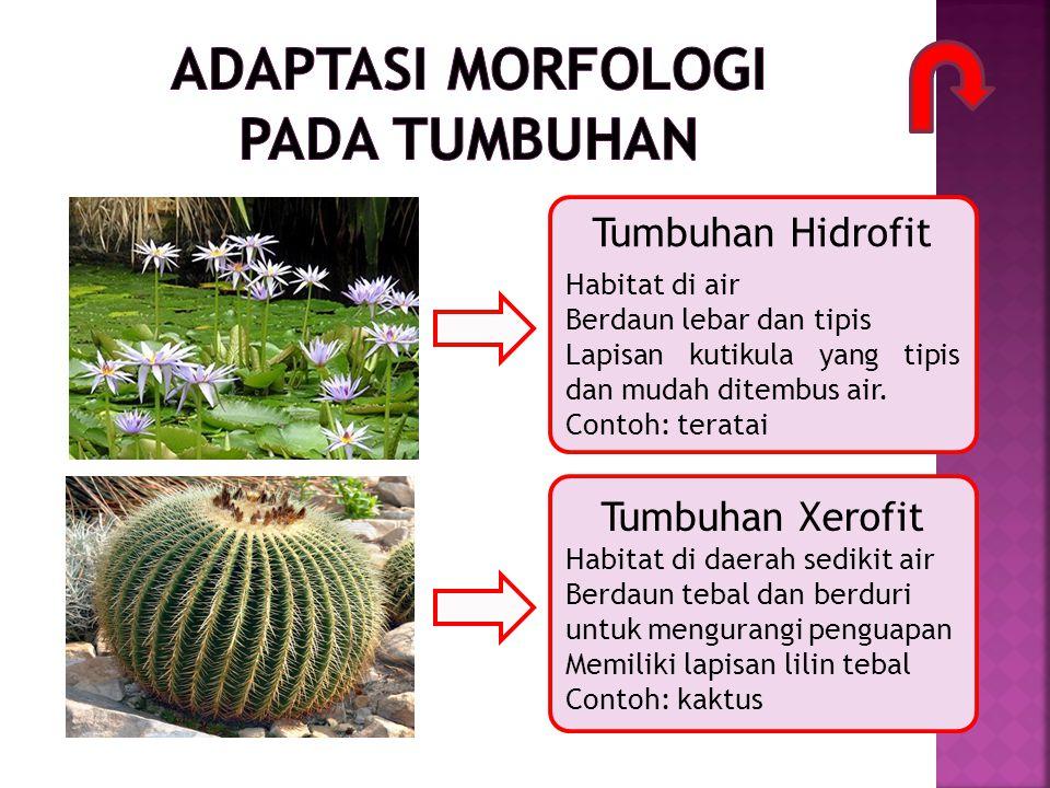Tumbuhan Hidrofit Habitat di air Berdaun lebar dan tipis Lapisan kutikula yang tipis dan mudah ditembus air. Contoh: teratai Tumbuhan Xerofit Habitat