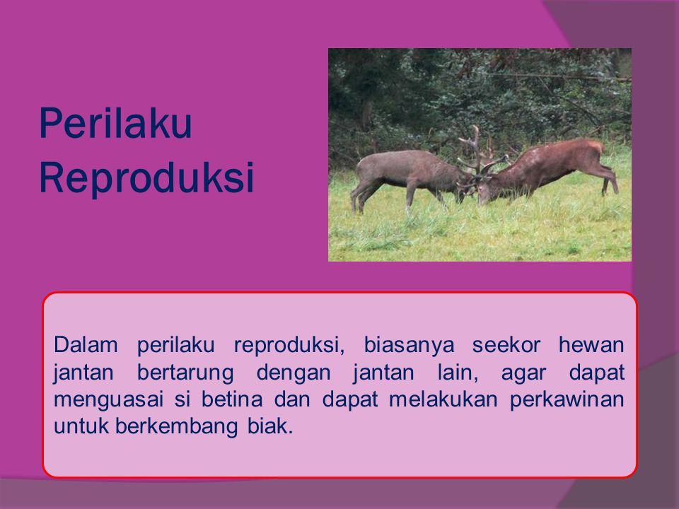 Perilaku Reproduksi Dalam perilaku reproduksi, biasanya seekor hewan jantan bertarung dengan jantan lain, agar dapat menguasai si betina dan dapat mel