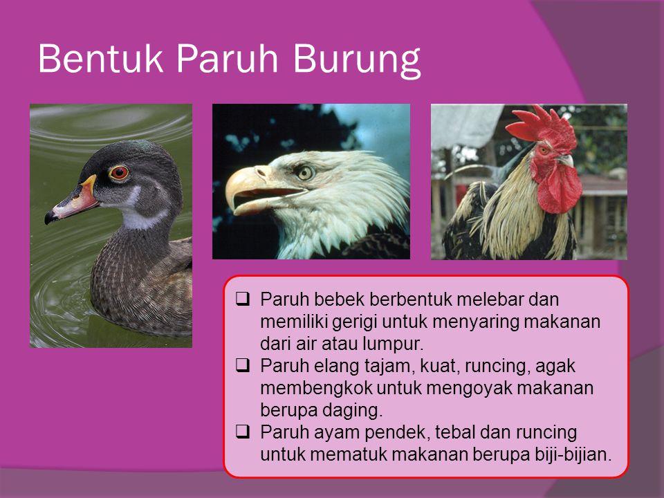 Bentuk Paruh Burung  Paruh bebek berbentuk melebar dan memiliki gerigi untuk menyaring makanan dari air atau lumpur.  Paruh elang tajam, kuat, runci