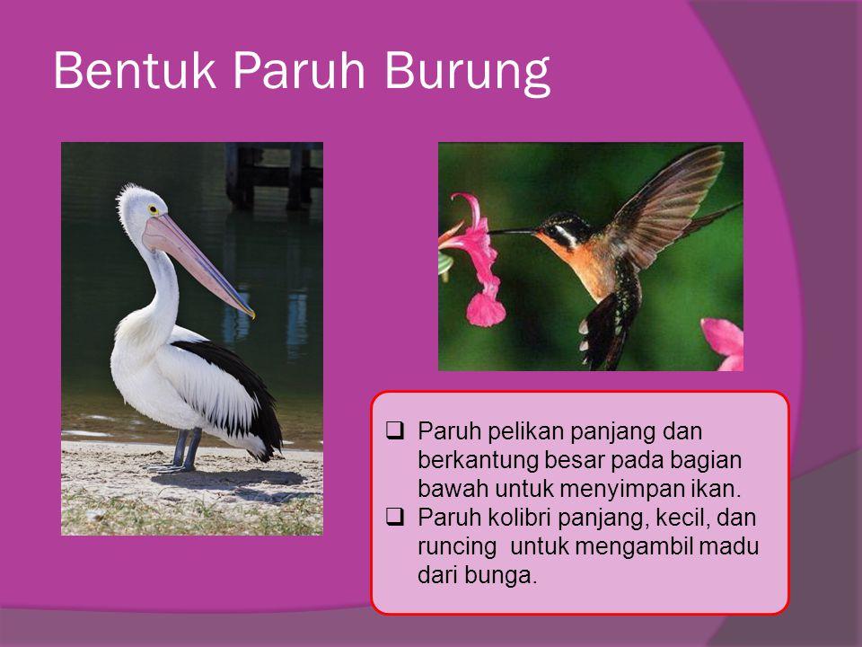 Bentuk Paruh Burung  Paruh pelikan panjang dan berkantung besar pada bagian bawah untuk menyimpan ikan.  Paruh kolibri panjang, kecil, dan runcing u