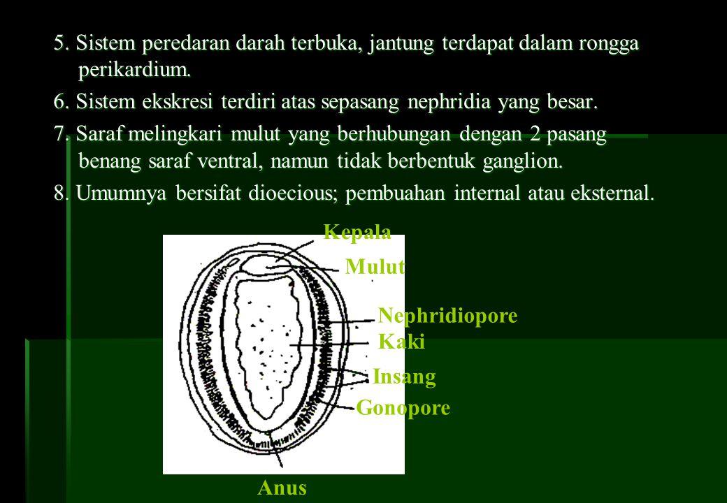 5. Sistem peredaran darah terbuka, jantung terdapat dalam rongga perikardium. 6. Sistem ekskresi terdiri atas sepasang nephridia yang besar. 7. Saraf